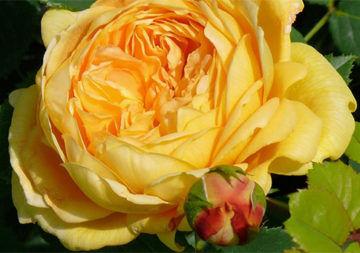 La rosa «Catena della Solidarietà» per l'aiuto all'infanzia